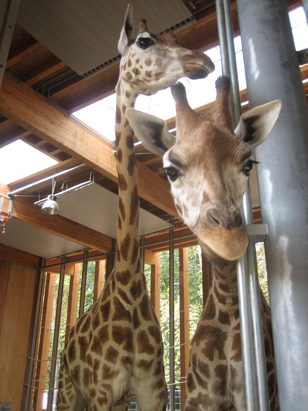 Giraferie - Parc de la Tete d'Or
